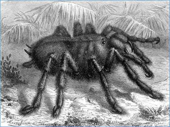 Araña cangrejo