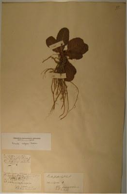 BU_31_Primula_vulgaris