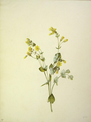 Blackstonia perfoliata, Tentsio belarra