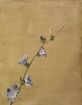 Cichorium intybus, Basatxikoria