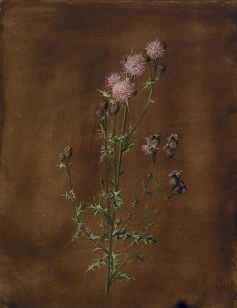 Cirsium arvense, Gardua