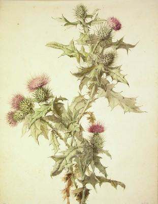 Cirsium vulgare, Astakardua]