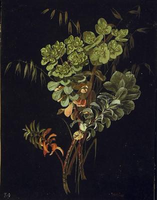 Euphorbia helioscopia, Euphorbia helioscopia