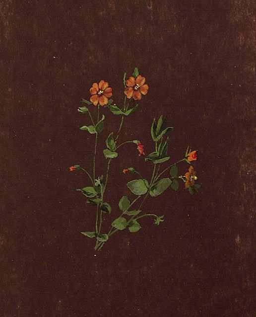 Anagallis arvensis, Pasmo-belar loregorria