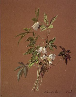 Anemone nemorosa, Baso anemona