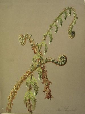 Dryopteris_affinis, Iratzea
