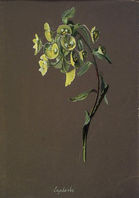 Euphorbia amygdaloides, Euphorbia amygdaloides]