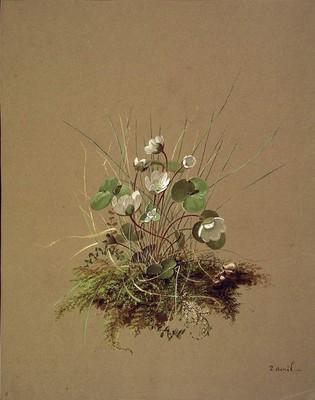 Hepatica nobilis, Gibel-belarra