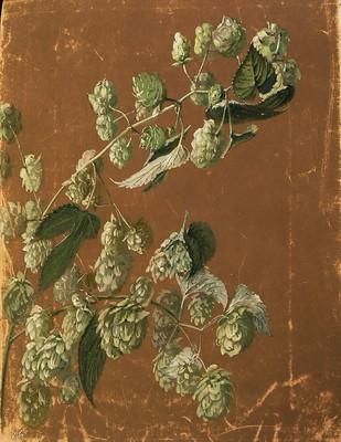 Humulus volubilis, Lupula