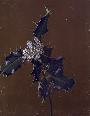 Ilex aquifolium, Gorostia