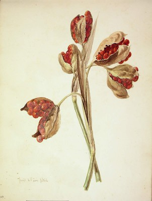 Iris foetidissima, Melira