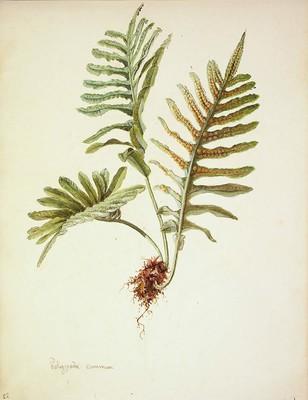 Polypodium cambricum, Haritz-iratzea