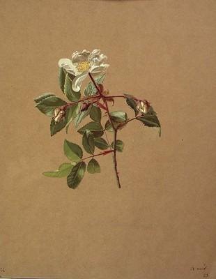 Rosa sempervirens, Arkakaratsa