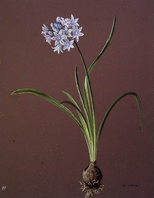 Scilla lilio-hyacinthos, Scille umbelate