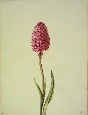 Anacamptis pyramidalis, [Allium roseum]