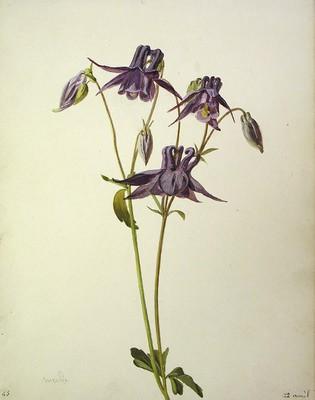 Aquilegia vulgaris, Kuku-belarra