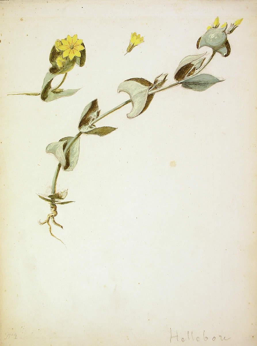 Blackstonia perfoliata, Tentsio-belarra