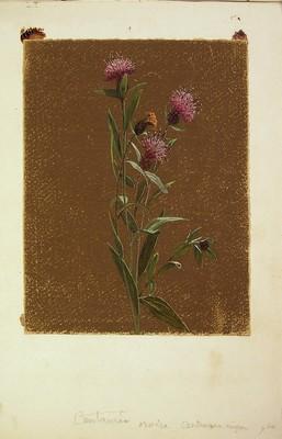 Centaurea debeauxil, Centaurea nigra