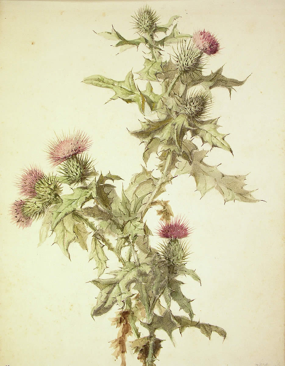 Cirsium vulgare, Astakardua