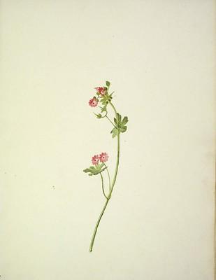 Geranium rotundifolium, [Geranium rotundifolium]