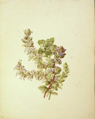 Glechoma hederacea, [Glechoma hederacea]