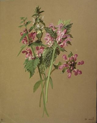 Lamium maculatum, Asun borta