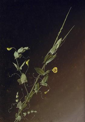 Lathyrus aphaca, Astailarra
