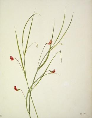 Lathyrus nissolia, [Lathyrus nissolia]
