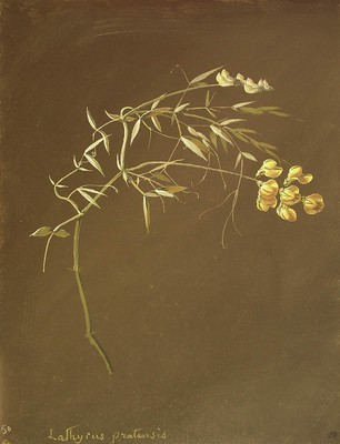 Lathyrus pratensis, Lathyrus pratensis