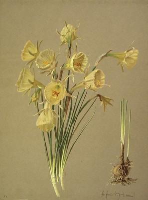 Narcissus bulbocodium, Lilipa