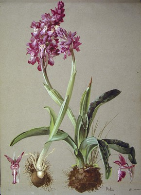 Orchis mascula, Orkideoa