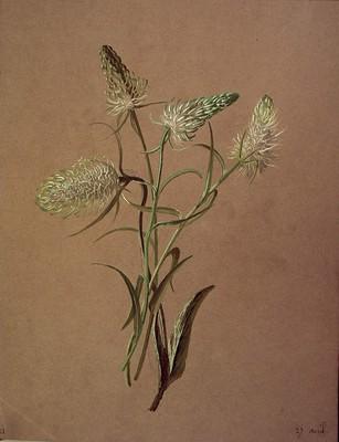 Phyteuma spicatum, [Phyteuma spicatum]