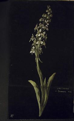 Platanthera bifolia, Orchis odorant de Guipuscoa
