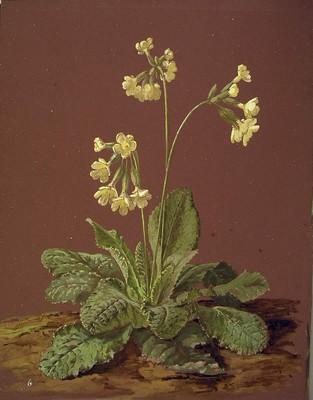 Primula elatior, Udaberri-lorea