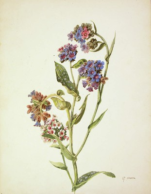 Pulmonaria longifolia, biri-belarra
