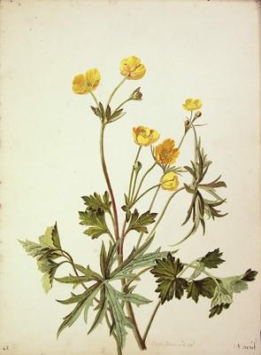 Ranunculus acris, Urrebotoia