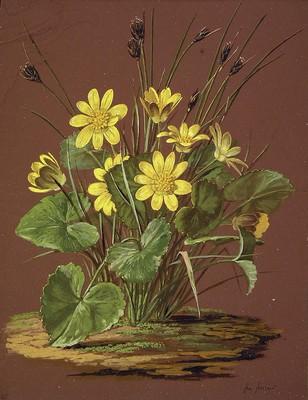 Ranunculus ficaria, Korradu-belarra