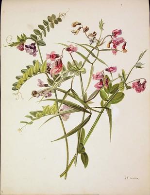 Vicia sepium y Lathyrus montanus, Vicia sepium eta Lathyrus montanus