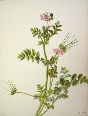 Erodium moschatum, Muscari