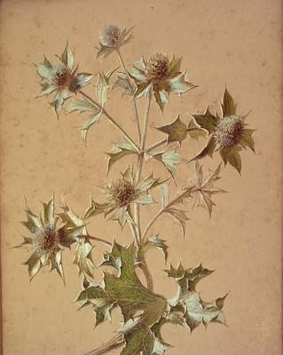 Eryngium maritimum, Itsas kardoa