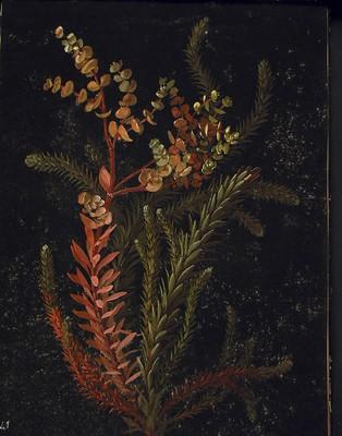 Euphorbia portlandica, [Euphorbia portlandica]