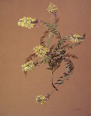 Linaria supina, Igitai-belarra