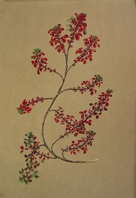 Ononis spinosa ssp maritima, Itsas itxiokorria