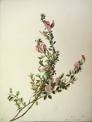Ononis spinosa ssp maritima, Itxiokorria