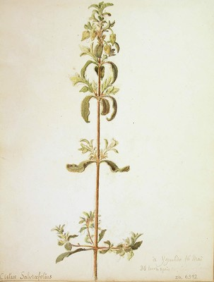 Cistus salviifolius, Estrepa