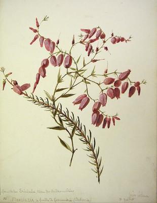 Daboecia cantabrica, Ainarra kantauriarra