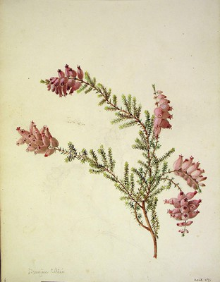 Erica ciliaris, Ainarra iletsua