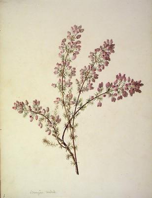 Erica cinerea, Ainarra purpura