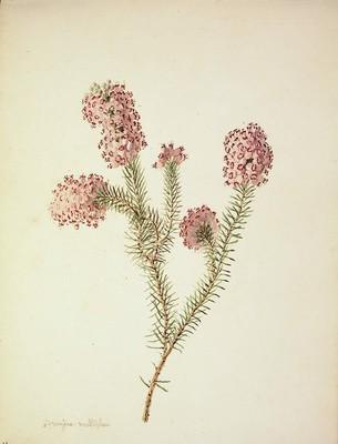 Erica multiflora, Ainarra loretsua