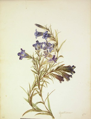 Gentiana pneumonanthe, Gentziana